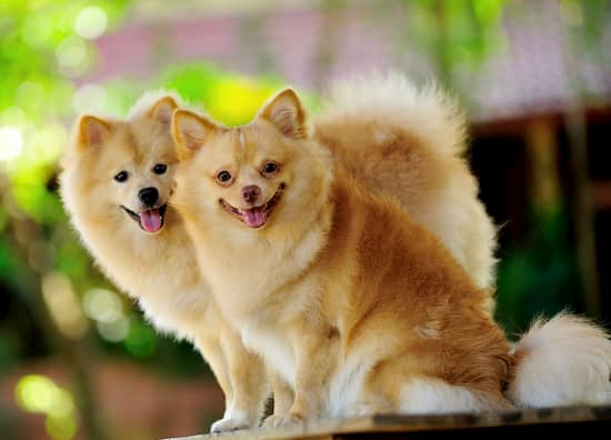 pomeranian dog names