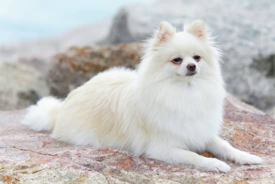 pomeranian female white