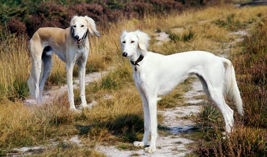 arab saluki dog