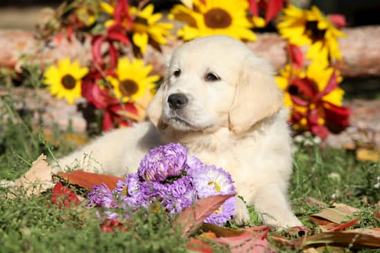golden retriever puppy with some flowers