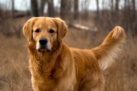 male dog golden retriever breed