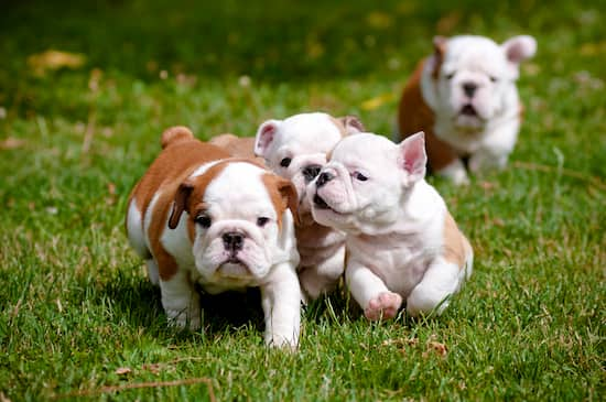 4 bulldog puppies with 2 months