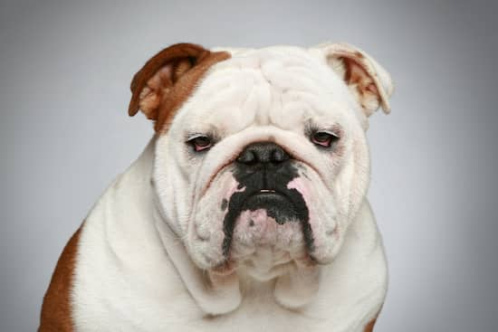white and brown female bulldog