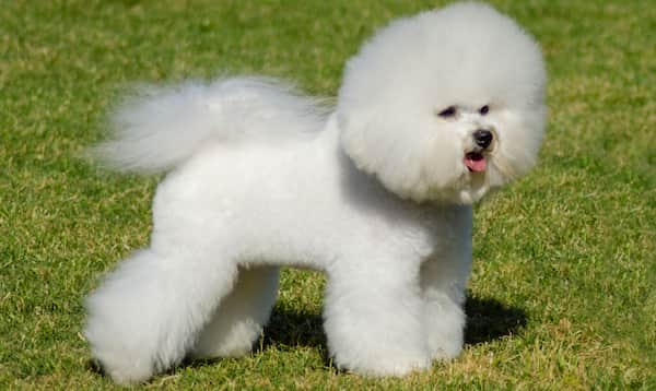 hairy dog breed bichon frize