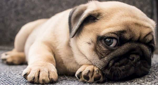 best names for pug dogs