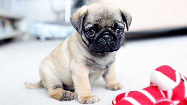 little pug puppy christmas