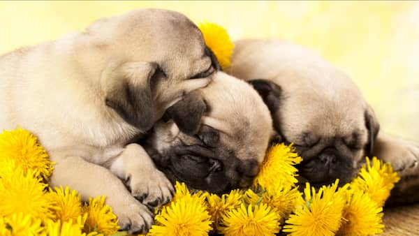 three pug puppies